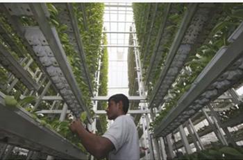 Una Vertical Farm a Singapore Per la produzione di ortaggi.
