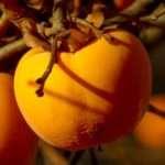 cachi frutto