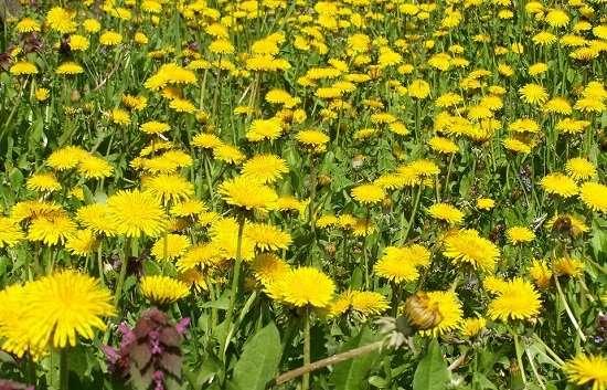 tarassaco fiori
